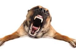 Behaviour modification for aggression, barking, chewing, and other problematic behaviours